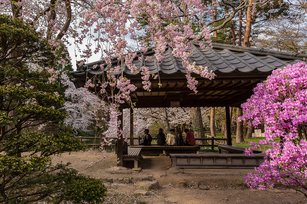 People sit in a gazebo in Hirosaki Park, quietly appreciating the cherry blossoms all around them