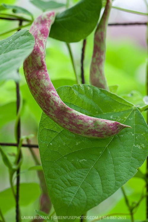 Purple-streaked Rattlesnake pole bean pod on the vine.