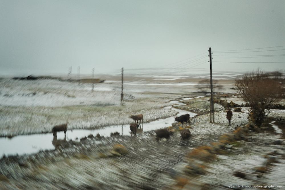 Farmer herds cows near Gorelovka.