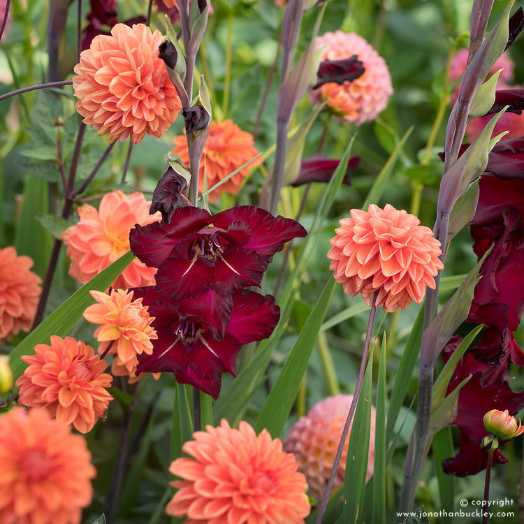 Gladiolus 'Black Surprise' and Dahlia 'Blitzer'