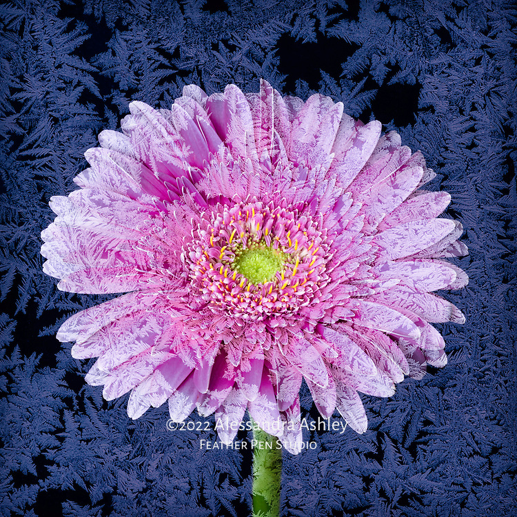 Cool-toned gerbera daisy, composited with frosty ice crystals on glass.