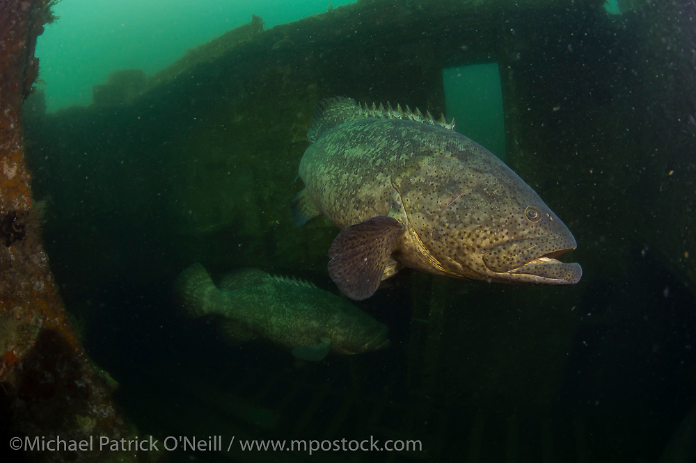 Two endangered and protected Goliath Grouper, Epinephelus itajara, hide inside an artificial reef offshore Singer Island, Florida, United States.