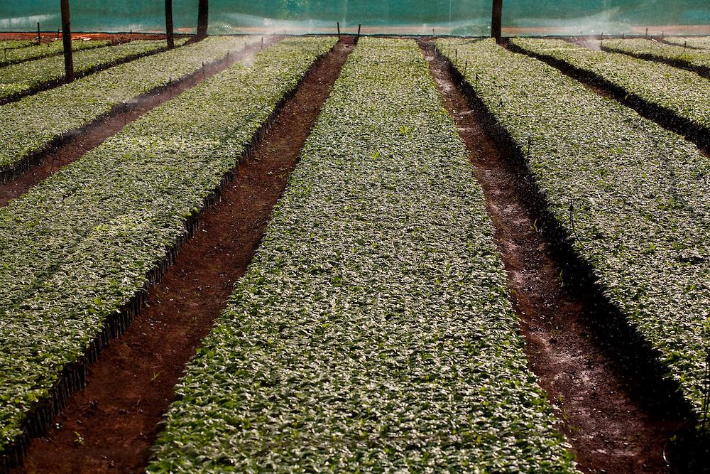 Patrocinio_MG, Brasil...Viveiro de mudas de cafe em patrocinio, Minas Gerais. ..The nursery seedlings of coffee in Patrocinio, Minas Gerais...Foto: LEO DRUMOND / NITRO