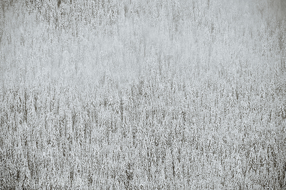 a light fog clears from a snowy forest scene.