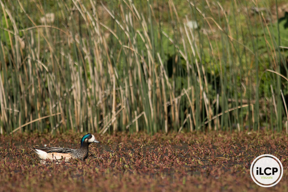 Chiloé Wigeon (Anas sibilatrix), also known as the southern wigeon.