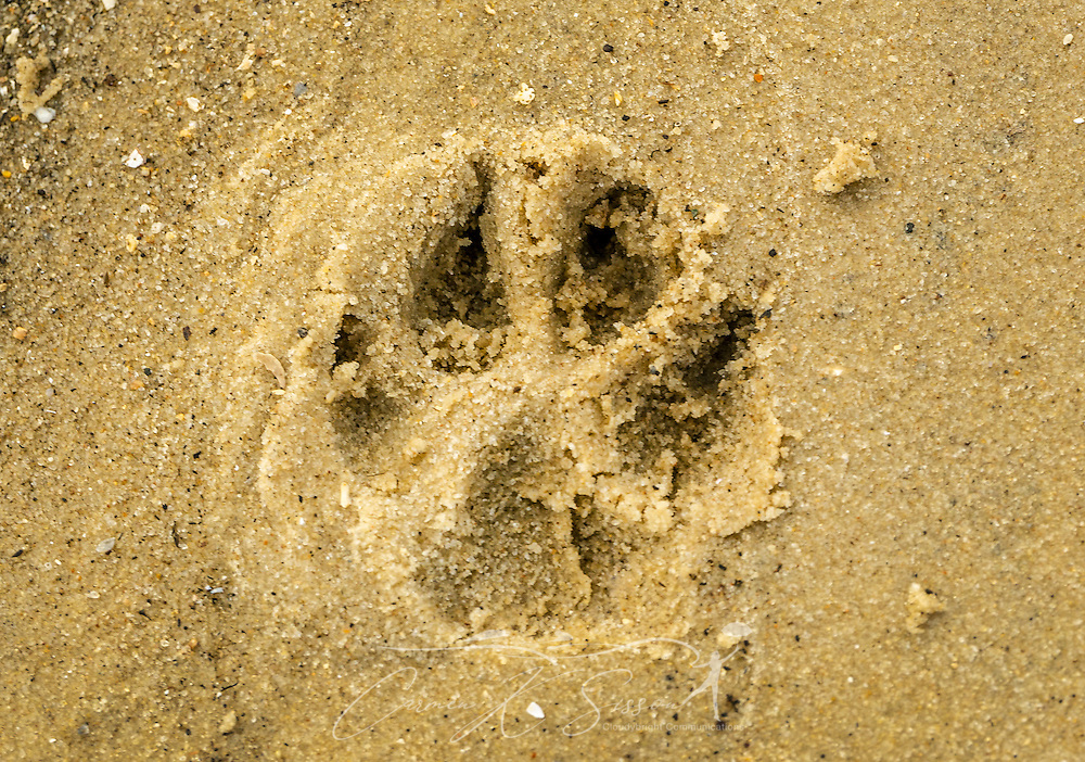 A paw print of an Australian Shepherd dog is seen on the beach on the east end of Dauphin Island in Dauphin Island, Ala. (Photo by Carmen K. Sisson/Cloudybright)
