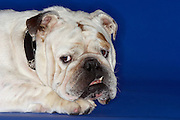 Bulldog close-up