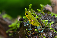 "A green and blue morph ""Cayo de Agua"" Strawberry Poison Dart Frog (Oophaga pumilio, ""Cayo de Agua""), Bocas del Toro, Panama"