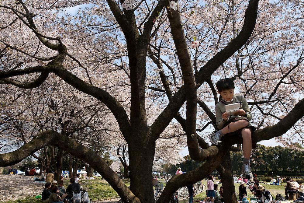 Kids playing on bluuming cherry trees in Tokyo's Tokorozawa park
