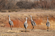 Sandhilll Cranes foraging along road in Bosque del Apache National Wildlife Refuge in New Mexico. Winter. Morning.