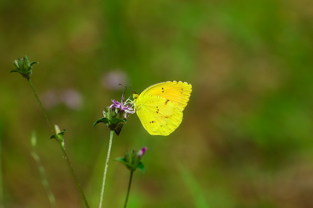 This tiny butterfly was photographed near the Ochlockonee River in North Florida.