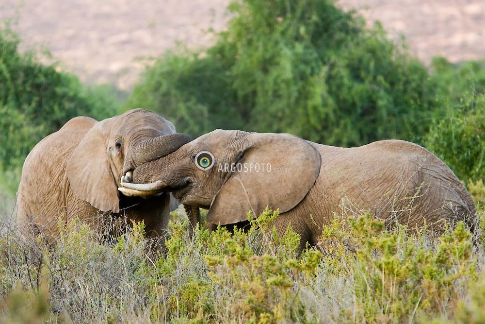 Elephants fighting, Samburu National Reserve, located on the banks of the Ewaso Ng'iro river in Kenya; Africa. There is a wide variety of animal and bird life seen at Samburu National Reserve / Elefantes luando em Samburu, localizado no Rift Valley, no Quenia. Eh um dos grandes parques nacionais do Quenia, na Africa importante refugio de vida selvagem