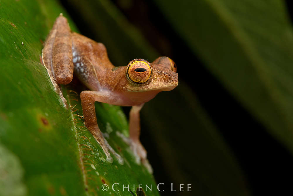 Belalong Tree Frog (Rhacophorus belalongensis). Only recently described, this tiny arboreal frog is endemic to just a few river basins in northwestern Borneo. Ulu Temburong National Park, Brunei.