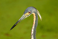 Tricolored Heron (Egretta tricolor),  Green Cay Nature Area   Photo: Peter Llewellyn