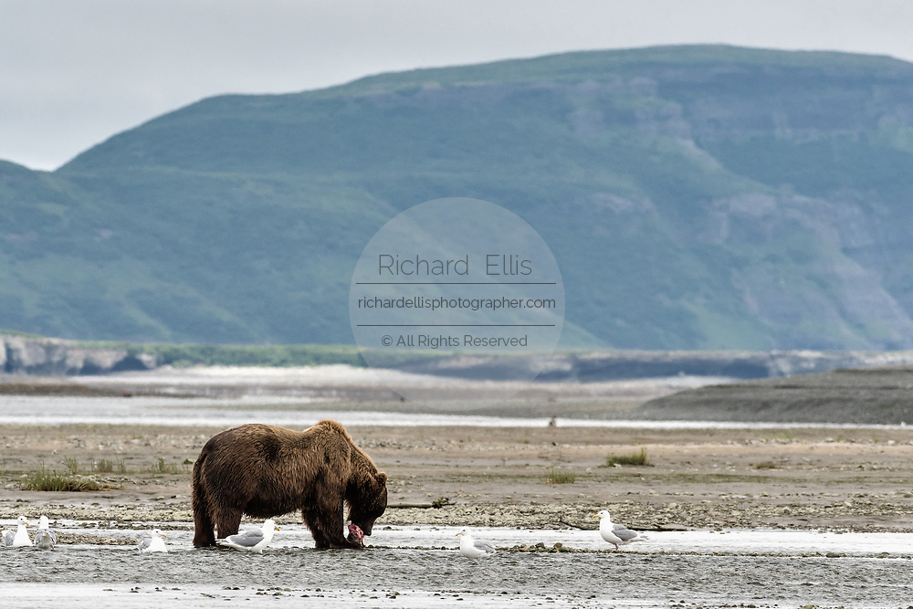 A large grizzly bear boar eats a chum salmon in the lower lagoon at the McNeil River State Game Sanctuary on the Kenai Peninsula, Alaska. The remote site is accessed only with a special permit and is the world's largest seasonal population of brown bears.