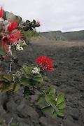 Ohia, Lehua, HVNP, Island of Hawaii<br />
