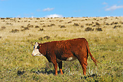 Cattle. Hereford<br /> Fort Walsh<br /> Saskatchewan<br /> Canada