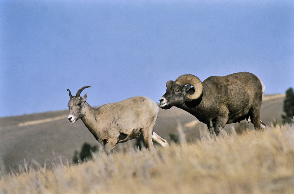 Ram following ewe showing flehmen response. Breeding, competition. Wyoming