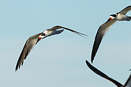 Several black skimmers fly through the air, looking for a place to land