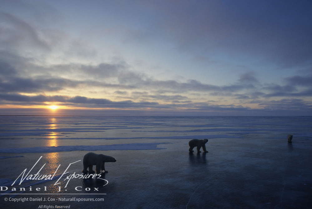 Polar Bear gathering during sunset on the frozen ice Hudson Bay in Canada.