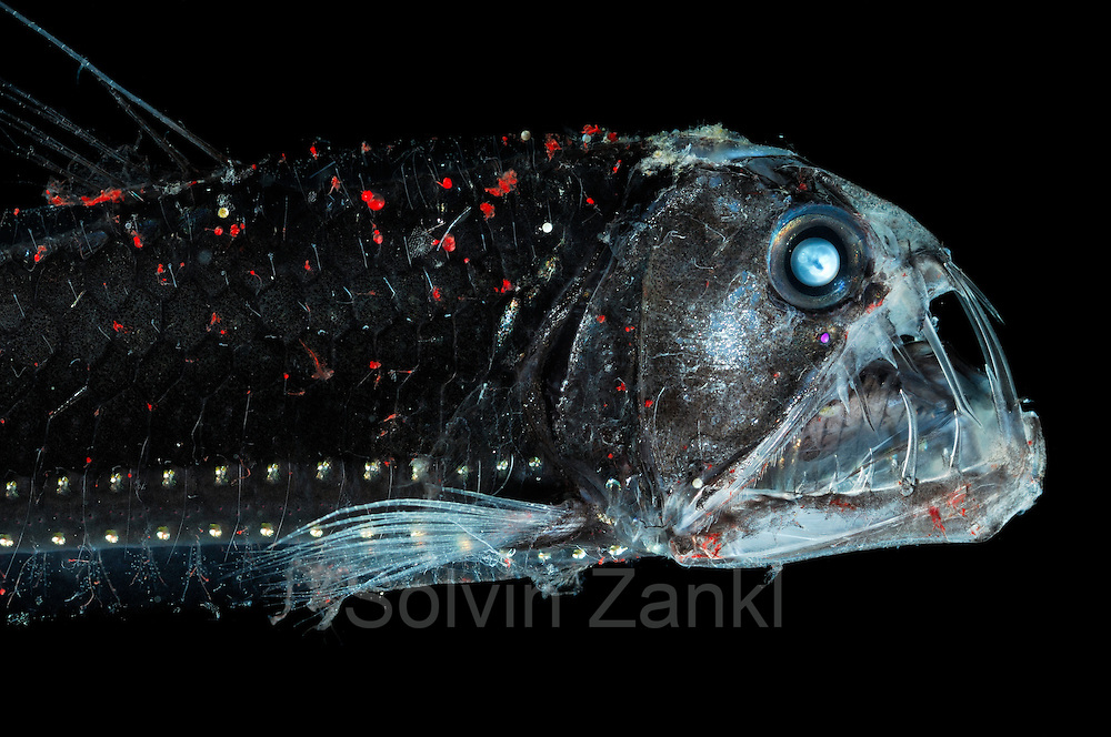 The deep sea viperfish (Chauliodus sloani) is approx. 30 cm long and lives within the upper 1000 m of the water column. During day they prefer deeper water layers while they actively ascend at night. Their numerous light emitting organs help on the one hand to attract prey, on the other hand they serve as a camouflage when seen from below against the light coming in from the surface. Its enormous teeth enable the viperfish to securely grab its prey. This is essential as in the deep sea encounters are very rare and each chance has to be taken. However, if the viperfish bites a prey item that is too big to be swallowed, the inward-bent teeth make it impossible to let go, which may well mean the end to both parties involved.  [size of single organism: 27 cm] | Die ca. 30 cm langen Vipernfische (Chauliodus sloani) leben meist in den oberen 1000 m der Wassersäule, wobei sie tagsüber in größeren Tiefen zu finden sind und nachts aktiv aufsteigen. Sie haben zahlreiche Leuchtorgane, die einerseits der Tarnung im Gegenlicht dienen, andererseits aber auch Beutetiere anlocken können. Da Begegnungen mit größeren Beutetieren in der Tiefsee selten sind, kann der Vipernfisch es sich laum leisten, eine Chance zu vergeuden. Daher haben diese Fische furchteinflößend lange Zähne entwickelt, um ein sicheres Zupacken zu ermöglichen.