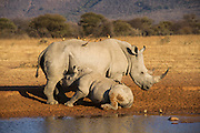 White rhinoceros (Ceratotherium simum) mother &amp; calf<br /> Private Reserve, <br /> SOUTH AFRICA<br /> RANGE: Southern &amp; East Africa<br /> ENDANGERED SPECIES