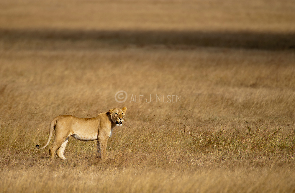 Male lion (Panthera leo) in the fields of Maasai Mara, Kenya.