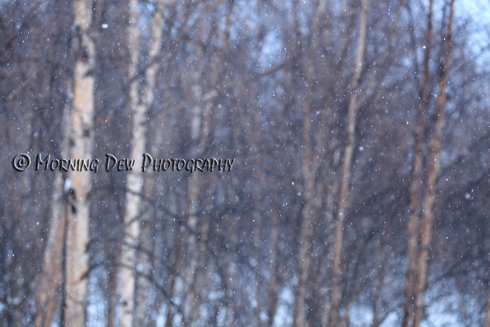 Snow falls softly among a stand of Birch trees on a winter day in Anchorage, Alaska