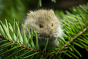 A young (31day old) red tree vole (Arborimus longicaudus) among Douglas fir needles. Red tree voles are rarely seen. They are nocturnal and live in Douglas fir tree tops and almost never come to the forest floor.  They are one of the few animals that can persist on a diet of conifer needles which is their principle food.  As a defense mechanism, conifer trees have resin ducts in their needles that contain chemical compounds (terpenoids) that make them unpalatable to animals.  Tree voles, however, are able to strip away these resin ducts and eat the remaining portion of the conifer needle.