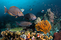 Yellow Masked Surgeonfish at a cleaning station<br /> <br /> Shot in Indonesia