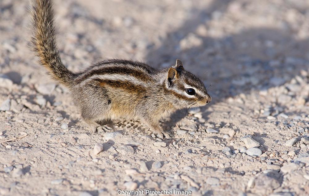 Least Chipmunk. (Tamias minimus), Alberta, canada, Isobel Springett