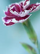 Dianthus 'Binsey Red' - pink