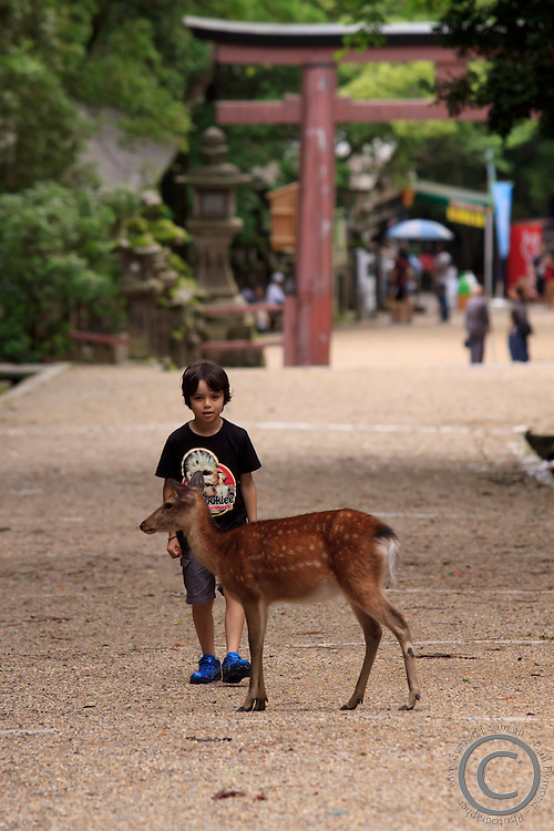 A young boy warily watches a wild deer at the entrance to Kasuga Taisha Shrine, Nara, Japan.