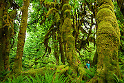 Hiker among moss covered trees and ferns at the Hoh rain forest in Washington state on the pacific coast.