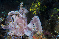Paddle-flap Scorpionfish, perched on the seafloor.  <br /> <br /> note the Lacey Scorpionfish in the background.<br /> <br /> Shot in Indonesia