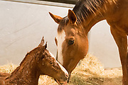 A mare checks out her foal short after giving birth at the Colorado State University Equine Reproduction Laboratory, March 7, 2015.