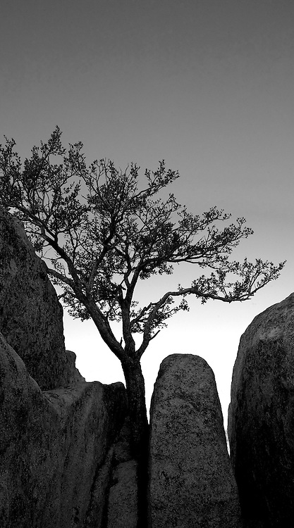 A mohogany tree reaches for soil and water between giant granite boulders in the City of Rocks National Monument in Southern Idaho.