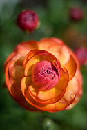 Sunset colors paint the many layers of Ranunculus petals as the flower opens in early spring