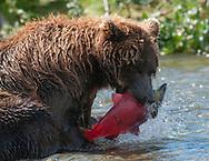 A bear (Ursus arctos) with a fresh caught sockeye salmon - Katmai, Alaska