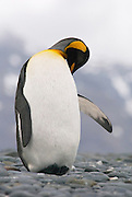 King Penguin in South Georgia is happily preening itself while balancing on it heels. This photo is from a series of photos showing a King penguin in several different poses showing preening stretching and twisting poses.