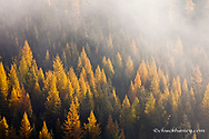 Larch aka tamarack tree in autumn basking in morning sunlight as the sun breaks through the fog in Swan Valley, Montana, USA