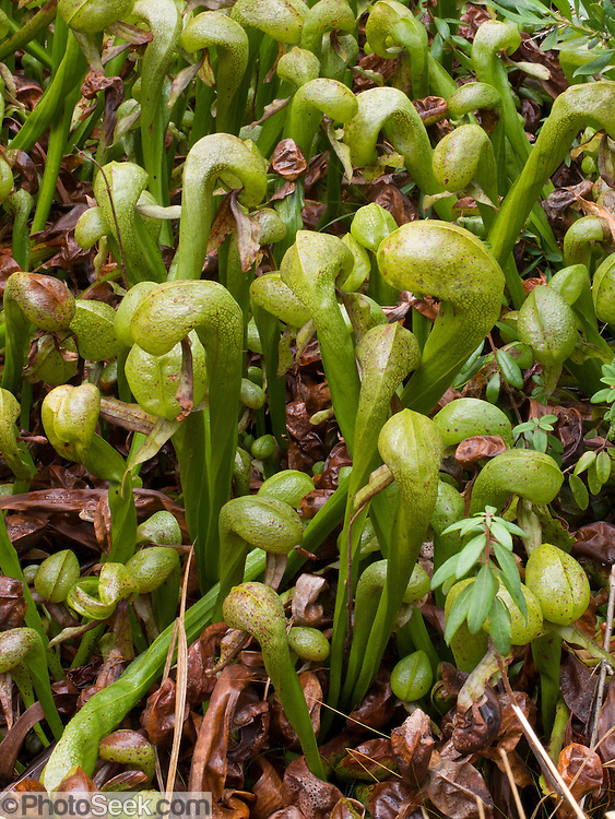 Cobra lilies at Darlingtonia Wayside, which is located 5 miles North of Florence, Oregon, just East of Highway 101.  This 18 acre Oregon State Park (free entrance) protects the only carniverous plant in Oregon, Darlingtonia californica, also known as the Cobra Lily, which gets it's main nutrients not from the soil, but from passing insects. Insects looking for food are lured into the plant by the promise of nectar, but get trapped by false exits in the bowels of the plant.