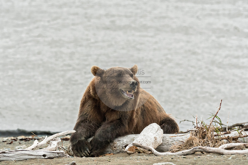 A brown bear sow on the beach along the Cook Inlet at the McNeil River State Game Sanctuary on the Kenai Peninsula, Alaska. The remote site is accessed only with a special permit and is the world's largest seasonal population of grizzly bears in their natural environment.