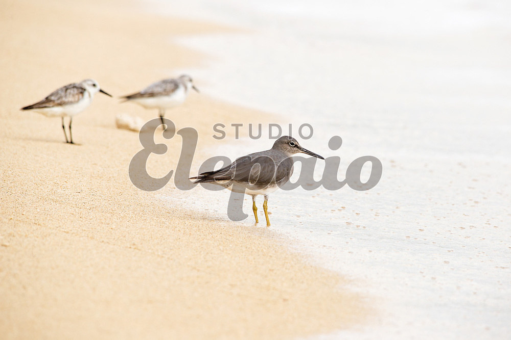 Wandering tattler (Tringa incana) and sanderling (Calidris alba) on a beach. Photographed in October 2014 at Kualoa Regional Park on Oahu, Hawaii. In Hawaii, wandering tattler is called ulili, and sanderling is called hunakai.