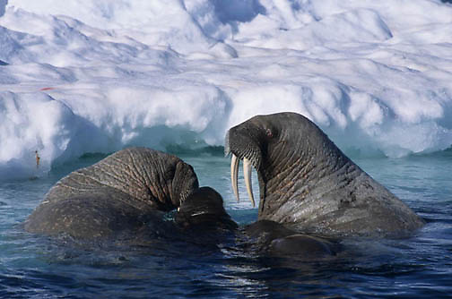 Walrus, (Odobenus rosmarus) In waters off Baffin Island. Canada.