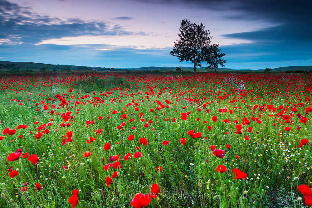Field with poppies at twilight