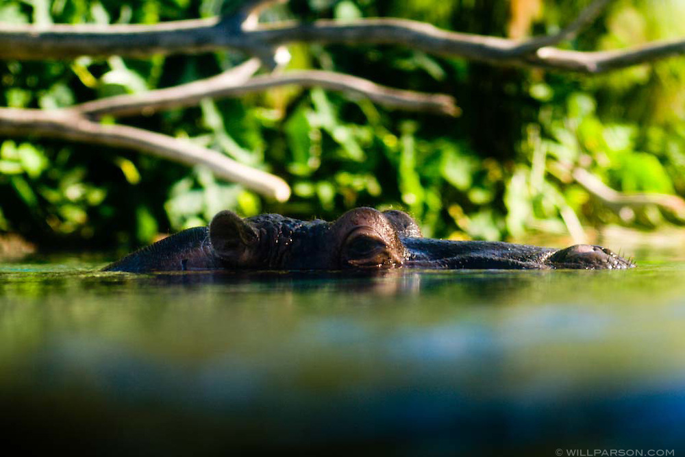 A water-level view of a hippopotamus at the San Diego Zoo
