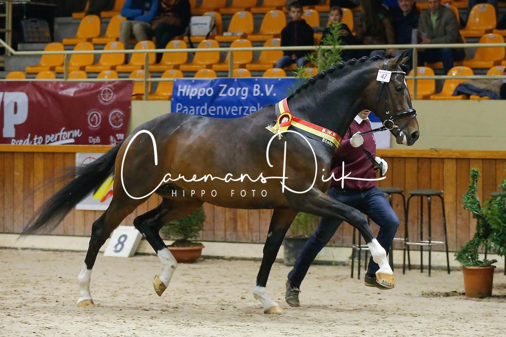 47 - Kozinsky vd Dries, fokker Laevens Dirk<br /> BWP Hengstenkeuring 2014<br /> Zilveren Spoor Moorsele 2014<br /> &copy; Dirk Caremans