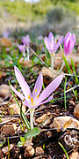 Steven's Meadow-saffron (Colchicum stevenii) common names are: autumn crocus, meadow saffron and naked lady. Photographed in Israel in November