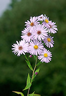 Michelmas Daisy Aster novi-belgii (Asteraceae) H to 75cm<br /> Attractive, branched, perennial. Grown in gardens and occasionally naturalised. FLOWERS comprise umbel-like clusters of flower heads, each of which consists of orange-yellow disc florets and bluish-lilac ray florets, and is 1-2cm across (Jul-Sep). FRUITS are achenes. LEAVES are narrow-oval, with a prominent midrib. STATUS-Occasional.
